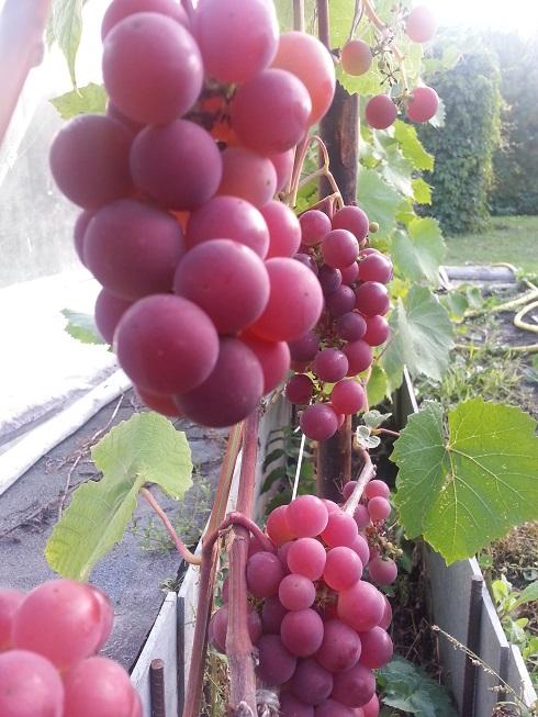 Саженец винограда Гуна