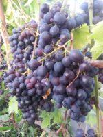 Черенок винограда Космонавт