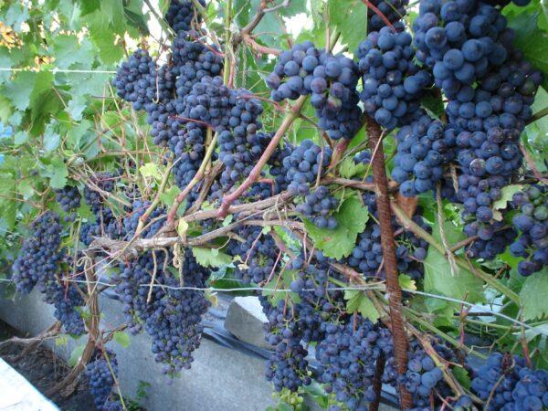 Черенок винограда Космос