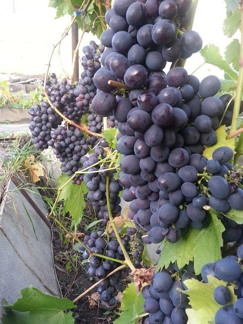 Черенок винограда Муромец