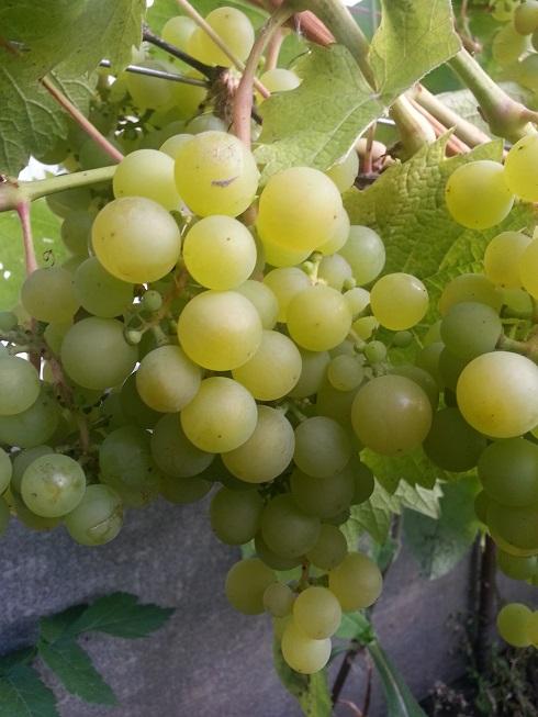 Черенок винограда Мускат катунский