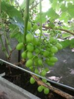 Черенок винограда Элегия