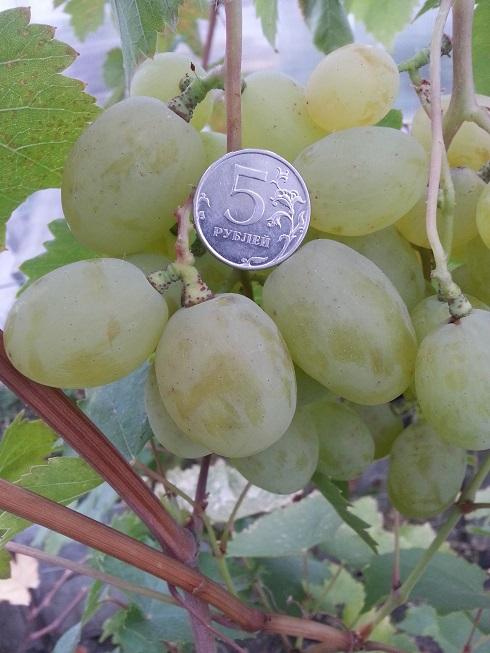 Черенок винограда Талисман