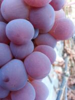 Саженец винограда Кардинал