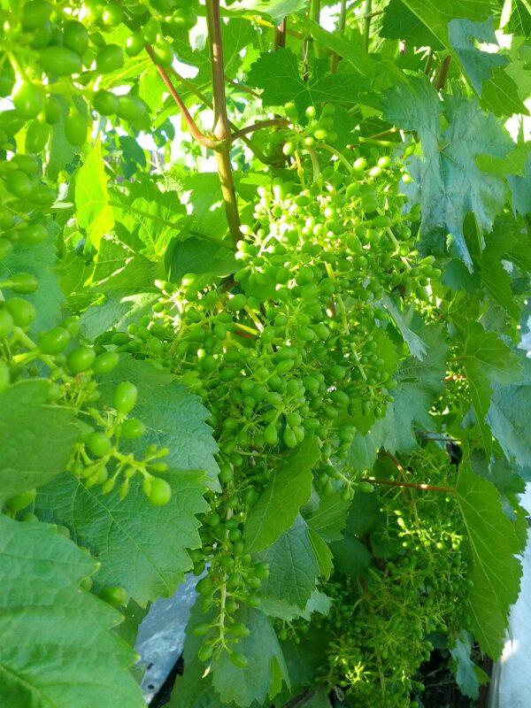 Черенок винограда Конфетный