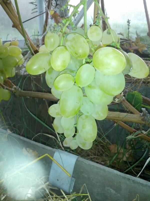 Саженец винограда Элегант