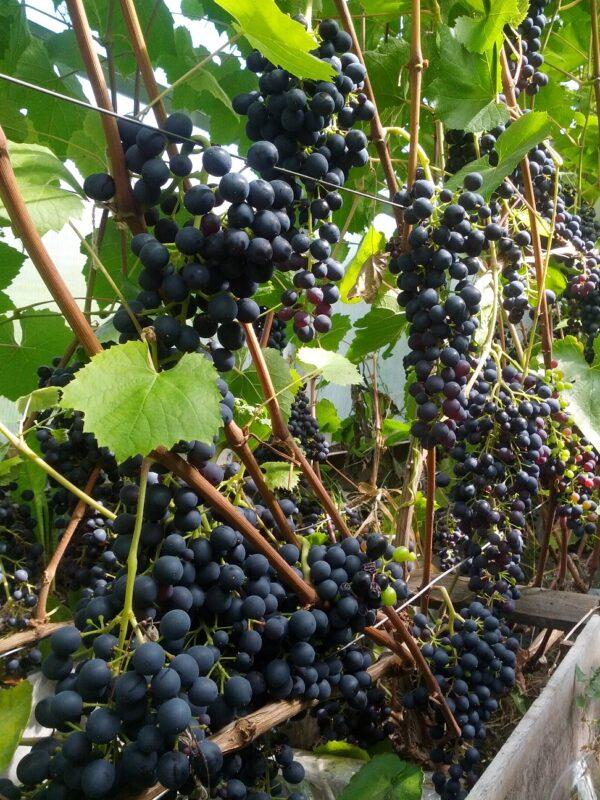 Саженец винограда Память Домбковской