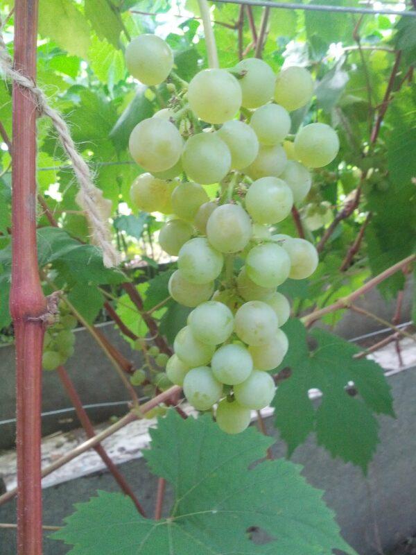 Саженец винограда Тукай